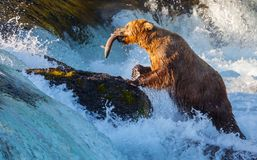 Bear on Alaska. Brown bear on Alaska, Katmai National Park stock photo