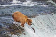 Bear on Alaska Stock Image