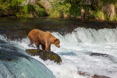 Bear on Alaska Royalty Free Stock Images