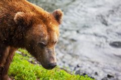 Bear on Alaska Royalty Free Stock Photo