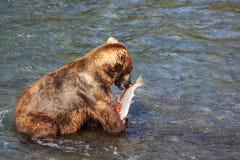 Bear on Alaska Stock Image
