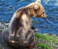 Bear on Alaska Royalty Free Stock Images