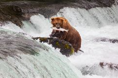 Bear on Alaska Royalty Free Stock Photo