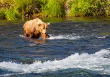 Bear on Alaska Stock Photo