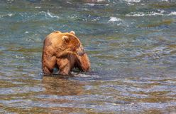 Bear on Alaska Stock Images