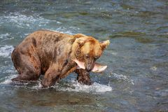 Bear on Alaska Royalty Free Stock Image