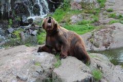 Bear. Animal nature predator teeth royalty free stock photography