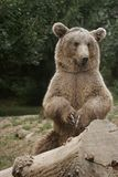 Bear applause Royalty Free Stock Photo