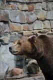 Bear asks treat in the zoo of Kaliningrad Russia. Bear asks treat in the zoo Royalty Free Stock Images