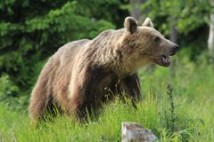 Bear Royalty Free Stock Images