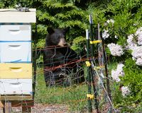 Bear attracted to beehive. Young black bear pondering how to get to the honey in beehive protected by electric fence in a garden setting in Berkshire County royalty free stock photos