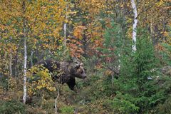 Bear in the autumn forest Stock Photos