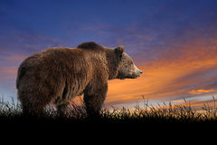 Bear on the background of sunset sky. Bear against on the background of sunset sky Stock Photography