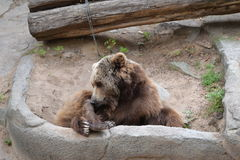 Bear. In the Barcelona Zoo Royalty Free Stock Image