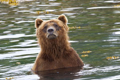 Bear bath Royalty Free Stock Image