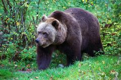Bear at the Bavarian Forest National Park Stock Images