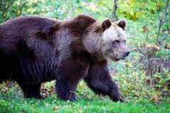 Bear at the Bavarian Forest National Park Royalty Free Stock Photos