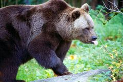 Bear at the Bavarian Forest National Park Royalty Free Stock Images