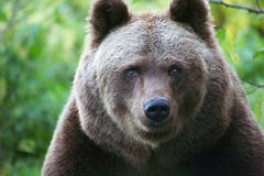 Bear at the Bavarian Forest National Park Royalty Free Stock Photography