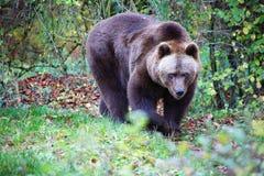 Bear at the Bavarian Forest National Park Stock Photos