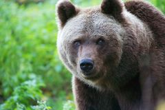 Bear at the Bavarian Forest National Park Royalty Free Stock Photo
