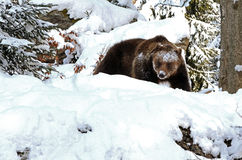 Bear in bavarian forest Stock Photo