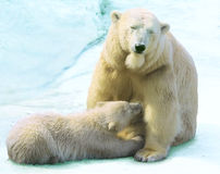 She-bear with a bear cub stock images