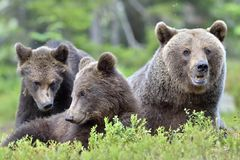 She-bear and bear-cubs. Stock Images