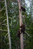 She-bear and Bear-cubs having scented danger, got on a Pine tree. stock photography