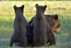She-bear and bear-cubs. Royalty Free Stock Photos