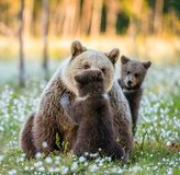 She-bear and bear-cubs at sunset. White flowers on the bog in the summer forest. She-bear and bear-cubs at sunset. Cubs and Adult female of Brown Bear in the stock photos