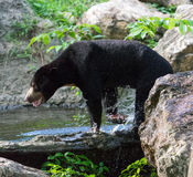 Bear. S are mammals of the family Ursidae. s are classified as caniforms, or doglike carnivorans, with the pinnipeds being their closest living relatives Royalty Free Stock Photos