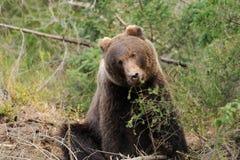 Bear Royalty Free Stock Photos
