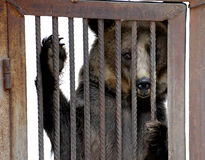 Bear behind bars Stock Images