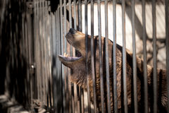 Bear behind the metal fence at the zoo Royalty Free Stock Photography