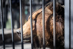 Bear behind the metal fence at the zoo Royalty Free Stock Images