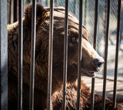 Bear behind the metal fence at the zoo Royalty Free Stock Photos