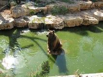 Bear  in the Biblical Zoo Stock Image