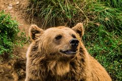 Brown bear royalty free stock images