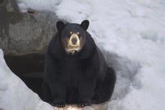 bear black Στοκ Εικόνες