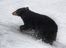 bear black Στοκ φωτογραφία με δικαίωμα ελεύθερης χρήσης