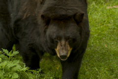 Bear. Black bear coming closer to you royalty free stock images
