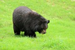 Bear black Stock Image