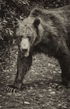 Bear black and white. Closeup of an old and injured grizzly bear as he looks at the camera while strolling through a river in the Tongass national forest, Alaska Stock Photography