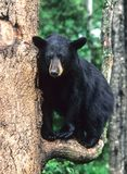 Bear on a branch stock images
