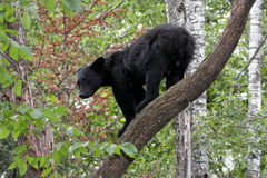 Bear on a Branch Stock Image