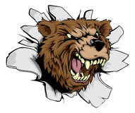 Bear breakthrough. Concept of a bear character or sports mascot smashing through the background Stock Photos
