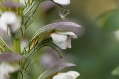 Bear breeches, Acanthus mollis Royalty Free Stock Photography