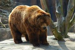 bear brown Στοκ φωτογραφία με δικαίωμα ελεύθερης χρήσης