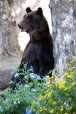 bear brown Στοκ Φωτογραφίες